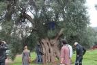 Fede sceglie il suo albero d'ulivo secolare!!!
